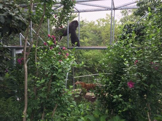 GorillaTreeway_GorillaAndAmurTiger_Spring2015